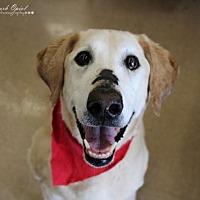 Adopt A Pet :: Daisy (Lab) - Cedar Rapids, IA