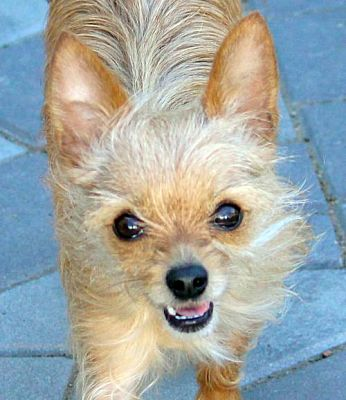 antioch ca yorkie yorkshire terrier meet scrappy a pet for