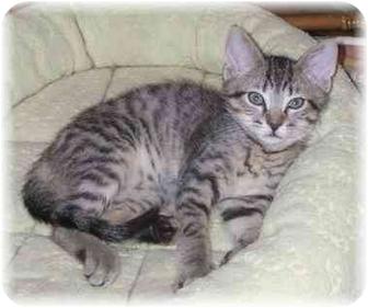 Domestic Shorthair Kitten for adoption in Naples, Florida - Jason