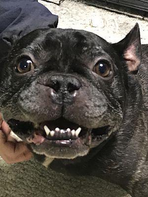Plainfield Ct French Bulldog Meet Meatball A Pet For Adoption