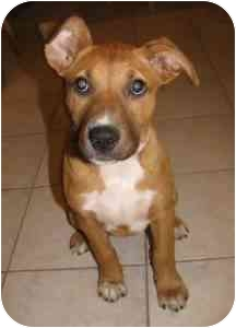 College Station, TX - Pit Bull Terrier  Meet Flora a Pet for