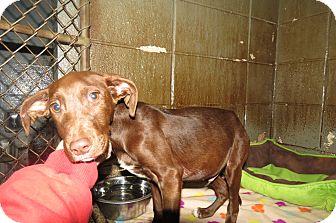 Labrador Retriever/Hound (Unknown Type) Mix Puppy for adoption in Henderson, North Carolina - Newton
