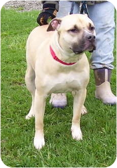 Staffordshire Bull Terrier Mix Dog for adoption in Somerset, Pennsylvania - Baily