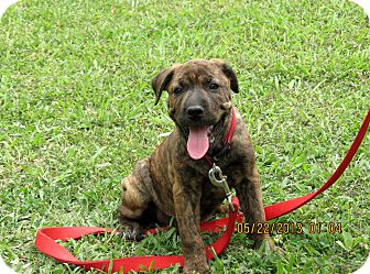 Salem Nh Boxer Meet Puppy Special Kay A Pet For Adoption