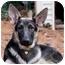 Photo 1 - German Shepherd Dog Dog for adoption in Wayland, Massachusetts - Hayden