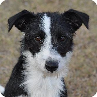 border collie jack russell terrier mix buffy adopted puppy 530 garland tx border collie 2140