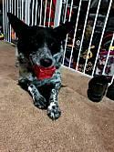 Adopt a Pet :: Poppy - Capulin, CO -  Border Collie/Australian Cattle Dog Mix