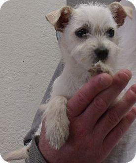 Corona Ca Westie West Highland White Terrier Meet Mary Ann A