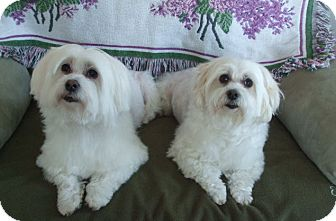 Maltese Dog for adoption in Blairstown, New Jersey - Safi and Shaba