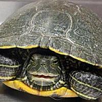 Adopt A Pet :: SMILEY - Wildomar, CA