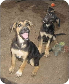 German Shepherd Dog Mix Puppy for adoption in Dripping Springs, Texas - Natalia