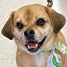 Adopt A Pet :: Samson *Adopt or Foster*
