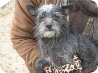 Terrier (Unknown Type, Small) Mix Dog for adoption in Kingsburg, California - Lindy