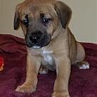 Adopt A Pet :: Bennet Pup