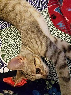 Adopt A Pet :: Camellia  - Fischer, TX