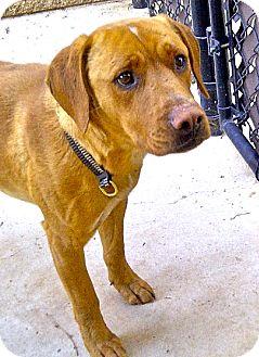 Labrador Retriever Mix Dog for adoption in Escondido, California - Brady
