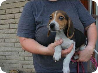 Rochester Nh Beagle Meet Snuggles A