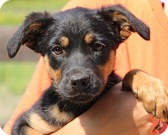 Stamford Ct Rottweiler Meet Lulu A Pet For Adoption