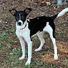 Adopt A Pet :: CHARLIE JACK
