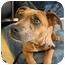 Photo 1 - Boxer Mix Dog for adoption in Homestead, Florida - Romey