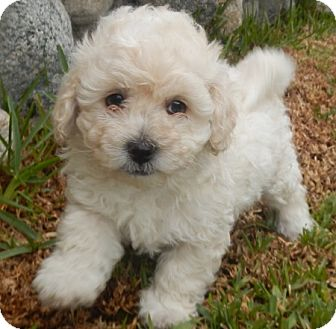Schnauzer Mix as well Rescue likewise Dogs And Puppies besides Poodles moreover Teacup Puppies For Adoption. on standard poodles for adoption in california