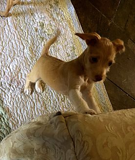 Adopt A Pet :: Addie Mae, CairWeirPoo PUPPY  - Corona, CA