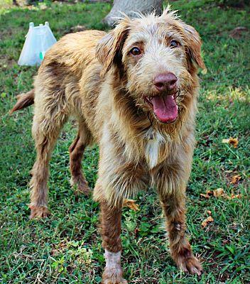 Shreveport La Airedale Terrier Meet Lena A Pet For Adoption