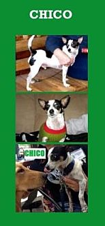 Fox Terrier (Wirehaired)/Chihuahua Mix Dog for adoption in Scottsdale, Arizona - Chico