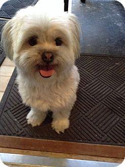 Regina Sk Bichon Frise Meet Izzy A Pet For Adoption