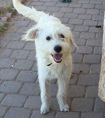 Phoenix, AZ - Westie, West Highland White Terrier  Meet