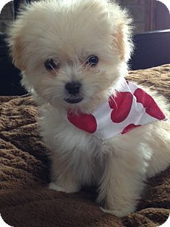Salt Lake City Ut Maltese Meet Maltipoo Puppies A Pet For Adoption