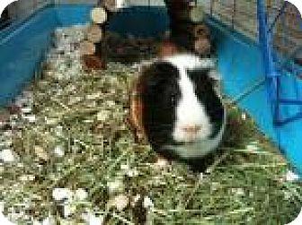 Guinea Pig for adoption in Edmonton, Alberta - Pig Pig
