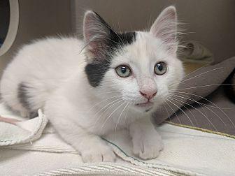 Adopt A Pet :: Marshmallow  - Laramie, WY
