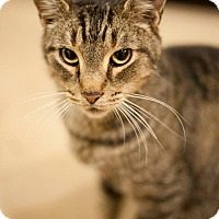Adopt A Pet :: Henry - Columbia, MD