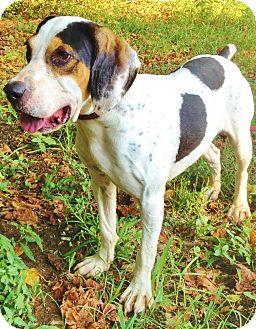 Treeing Walker Coonhound/Foxhound Mix Dog for adoption in Snohomish, Washington - Clooney, coolest hound boy!