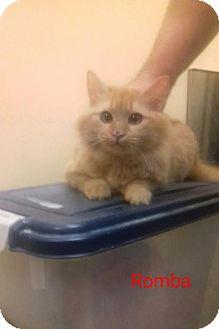 Domestic Longhair Kitten for adoption in McDonough, Georgia - Romba