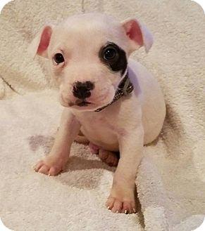 Labrador Retriever/Boxer Mix Puppy for adoption in Hayes, Virginia - Sparky