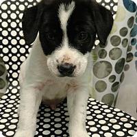 Adopt A Pet :: DINO - Tampa, FL