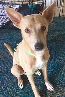 Adopt A Pet :: Handsome Guy...  - Ft Myers Beach, FL
