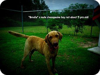Chesapeake Bay Retriever Mix Dog for adoption in Gadsden, Alabama - Brodie