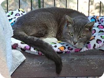 Domestic Shorthair Cat for adoption in El Dorado Hills, California - Misty