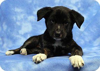 Australian Shepherd/Shepherd (Unknown Type) Mix Puppy for adoption in Westminster, Colorado - Merrie