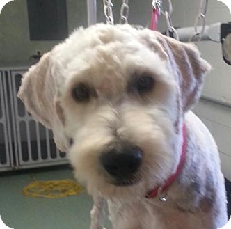 Labradoodle Mix Dog for adoption in Harrisonburg, Virginia - Ranger