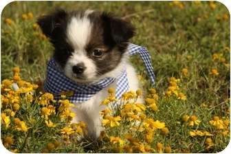 Shih Tzu/Chihuahua Mix Puppy for adoption in Cranford, New Jersey - Maxwell