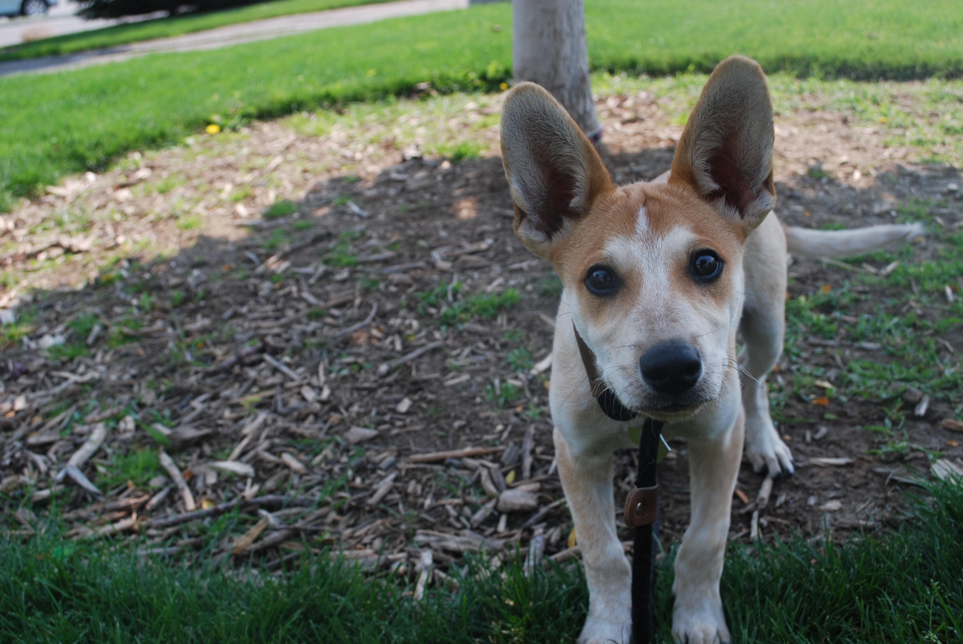 Twin Falls Id Australian Cattle Dog Meet Coyote A Pet For Adoption