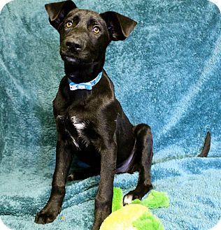 Labrador Retriever Mix Puppy for adoption in Winters, California - Gunner