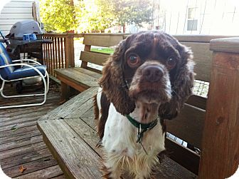 Mentor Oh Cocker Spaniel Meet Joey 3yr Adopted A Pet For Adoption