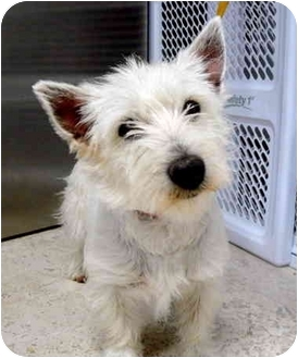 Albuquerque, NM - Westie, West Highland White Terrier  Meet