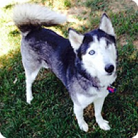 Adopt A Pet :: Niki - Madison, WI