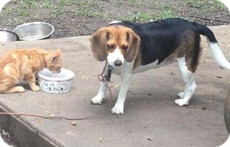 Beagle Dog for adoption in Rye, New Hampshire - Jackie